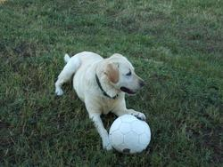 Nala, chien Labrador Retriever