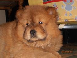 Nala, chien Chow-Chow