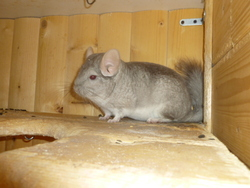 Nala, rongeur Chinchilla