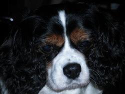 Nala, chien Cavalier King Charles Spaniel