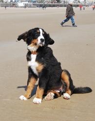 Nala, chien Bouvier bernois