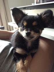 Nala, chien Chihuahua
