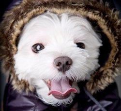 Nala, chien Bichon maltais