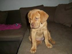 Nala, chien Dogue de Bordeaux