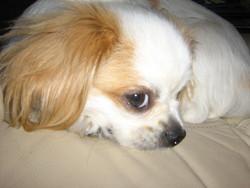 Nala, chien Épagneul tibétain