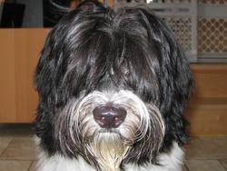 Nala, chien Schapendoes néerlandais
