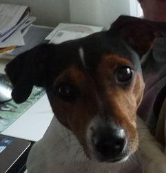 Nala, chien Jack Russell Terrier