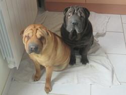 Nala, chien Shar Pei