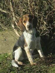 Nala, chien Beagle