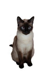 Nala, chat Siamois