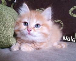 Nala, chat