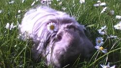 Nala, rongeur Cochon d'Inde