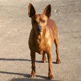 Nala, chien Pinscher