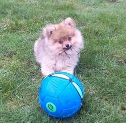 Nala, chien Spitz allemand