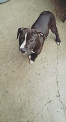 Nala, chien American Staffordshire Terrier