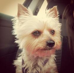 Nala, chien Yorkshire Terrier