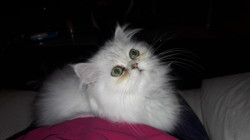 Nala, chat Persan