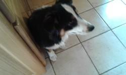 Nala, chien Berger australien