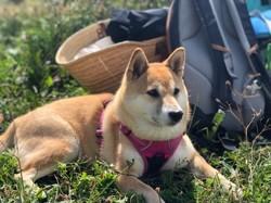 Nala, chien Shiba Inu