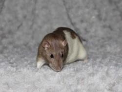 Nala, rongeur Rat