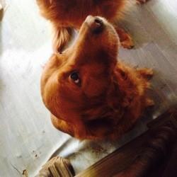 Nala, chien Golden Retriever