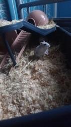 Nala, rongeur Hamster