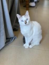 Nala, chaton Siamois