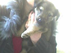 Nala , , chien Berger allemand