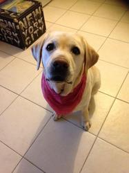 Nalaa, chien Labrador Retriever