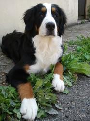 Nalah, chien Bouvier bernois