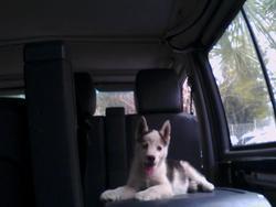 Nalha Disparue, chien Husky sibérien