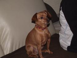 Nalla, chien Pinscher