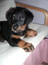 Nalla, chien Beauceron