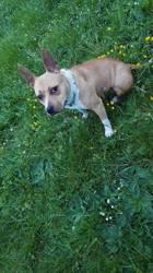 Nalya, chien American Staffordshire Terrier
