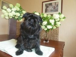 Nana, chien Griffon belge