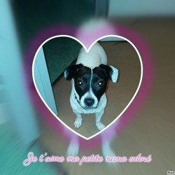 Nana, chien Jack Russell Terrier