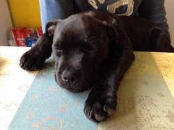 Nana, chien Staffordshire Bull Terrier