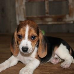 Nana, chiot Beagle