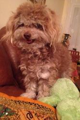 Nancy, chien Caniche