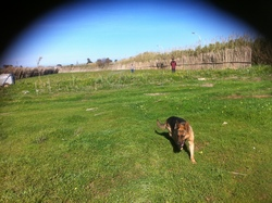 Nani, chien Berger allemand