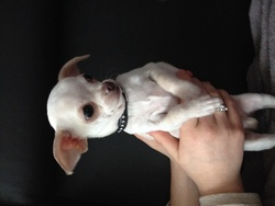 Nano, chien Chihuahua