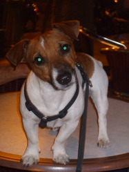 Nano, chien Jack Russell Terrier