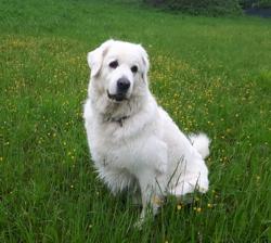 Nanok, chien Berger polonais de Podhale