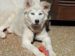 Nanook, chien Malamute de l'Alaska