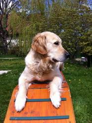 Nanook, chien Golden Retriever
