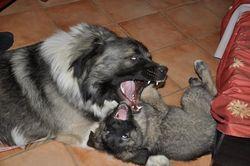 Nanook, chien Berger du Caucase