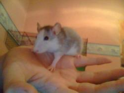 Nanou, rongeur Rat
