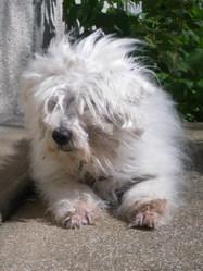 Nanouchka, chien Coton de Tuléar
