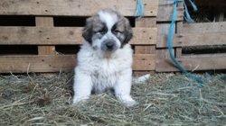 Nanouk, chien Berger des Pyrénées