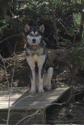 Kamaq, chien Malamute de l'Alaska